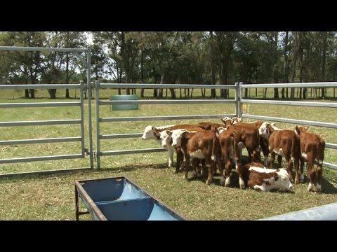 dietas para engorde de ganado bovino