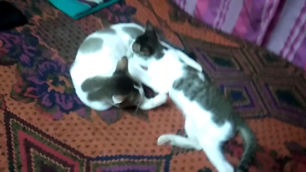 Kittens suck Mom breast, breast feeding kitten