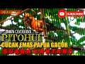 Cucak Rowo Papua Manokwari Cucak Emas Papua Gacor Volume Jernih  Mp3 - Mp4 Download