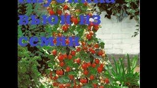 Пророщенные семена бамбука и клубники вьюн . Посылки с АлиЭкспресс . Часть 3-я(, 2014-03-07T17:56:02.000Z)