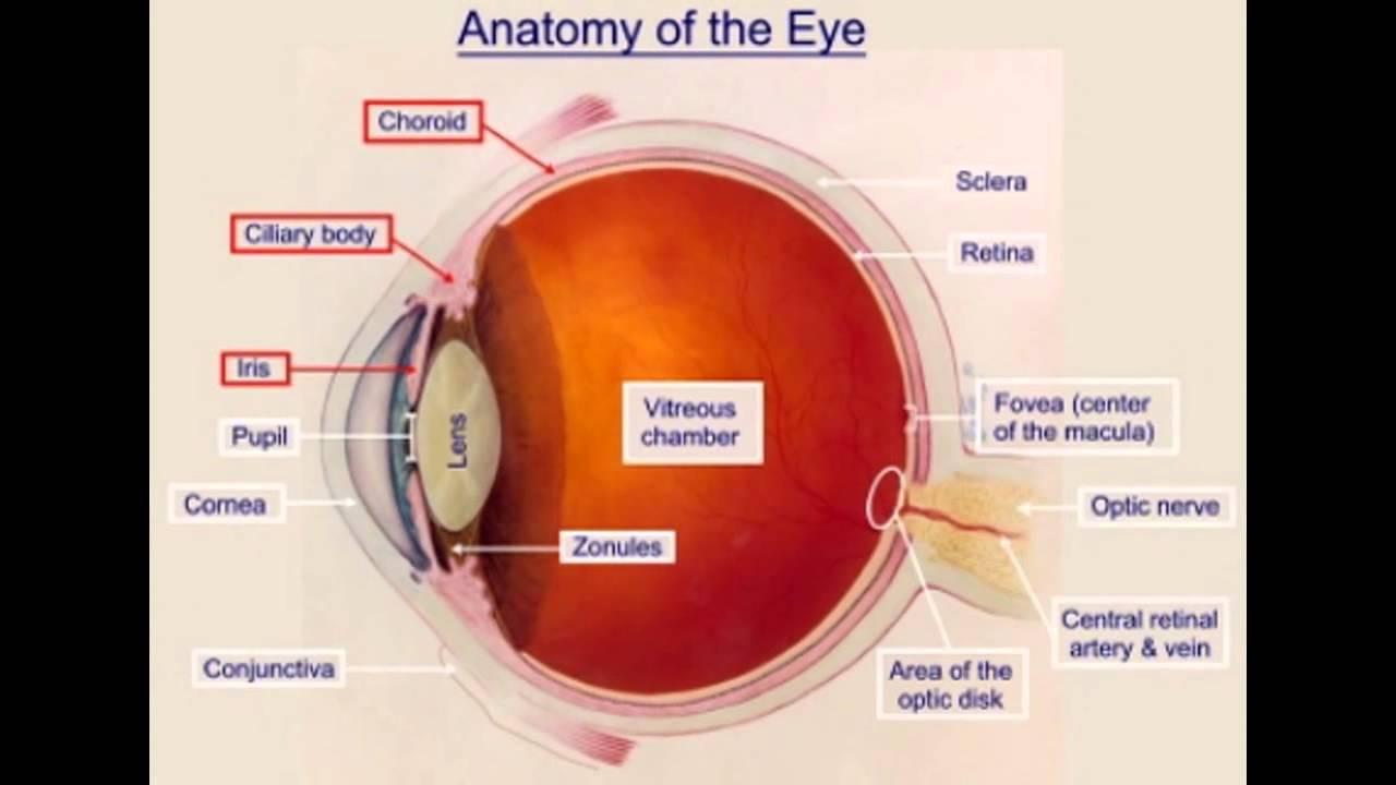 Eye Structure Animation Youtube