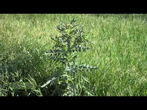 Weed of the Week #852 - Bull Thistle (Air Date 8/3/10)