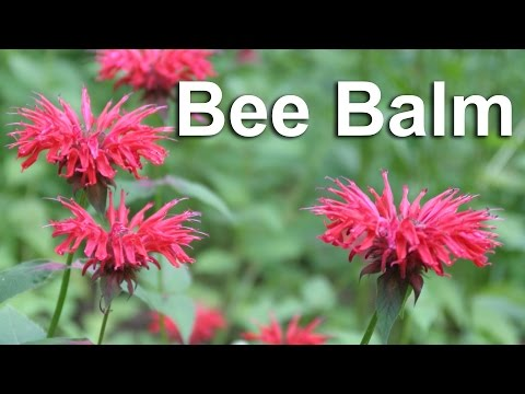 Grow Bee Balm, A Flower & Medicinal Herb - GardenFork