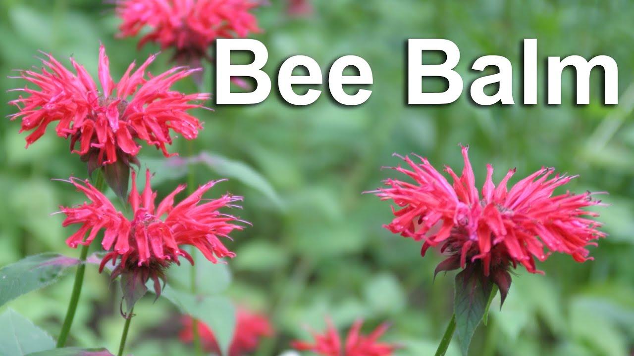 Grow Bee Balm, A Flower & Medicinal Herb - GardenFork ...
