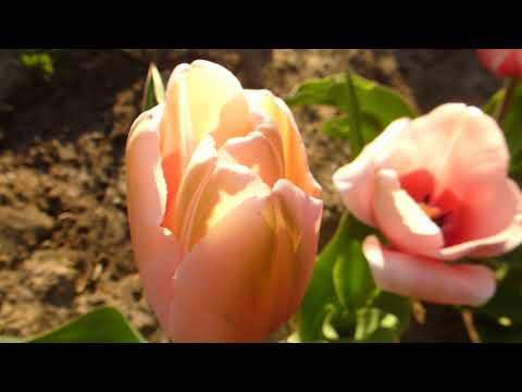 Пионовидные тюльпаны в начале цветения.