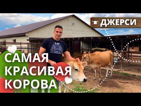 Коровы джерсейской породы |  Коровы Джерси: содержание, питание, общение