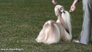 Show Dog Shih Tzu - LEXUS SHIH TZU  -  Par D'Ellas Felline