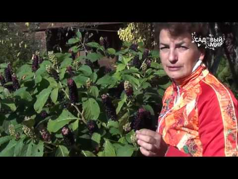 Неприхотливые растения для сада Лаконос или Фитолакка. Сайт
