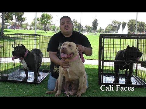Breeding $10,000 Pit Bulls