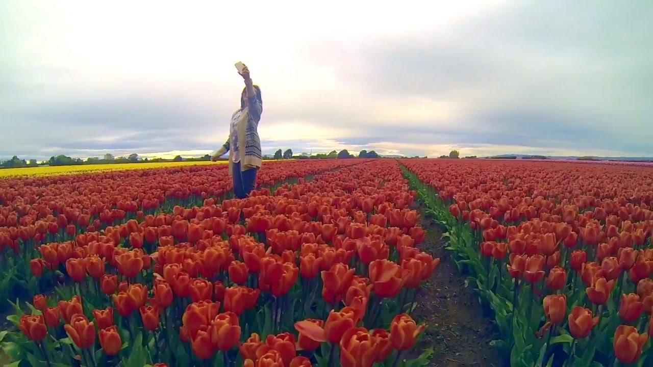 Tulips Field New Zealand Youtube