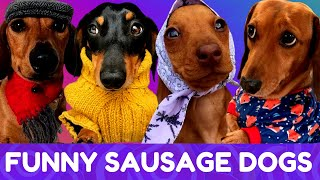 Try Not To Laugh! Funniest Dachshund Moments of 2020 #8
