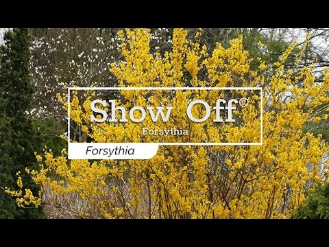 30 Seconds with Show Off® Forsythia