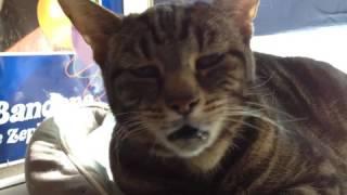 Cat makes pigeon noises