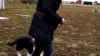 Loose Leash Walking Game: Service Dog Puppy Charlie and Handler