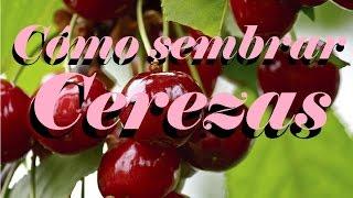 Cómo sembrar cerezas | Huerto Urbano Villarreal