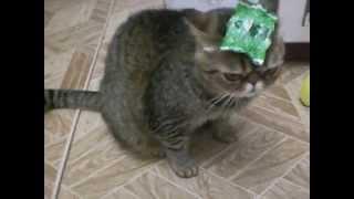 смешное видео! кот–экзот с фантиком funny cat