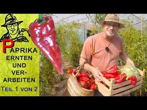 Paprika ernten und verarbeiten - Teil 1 von 2