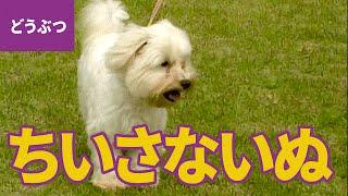 ちいさな犬、大集合! ちいさくて、かわいいワンちゃんたち【動物・生き...