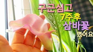 공기정화식물 카라키우기…