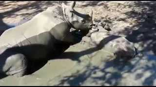 Orphaned rhinos, Stompie and Balu, take a mud bath together at HESC