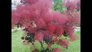 Пушистый кустарник для сада Скумпия
