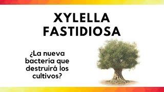 Xylella fastidiosa I ¿La nueva bacteria que destruirá los cultivos?