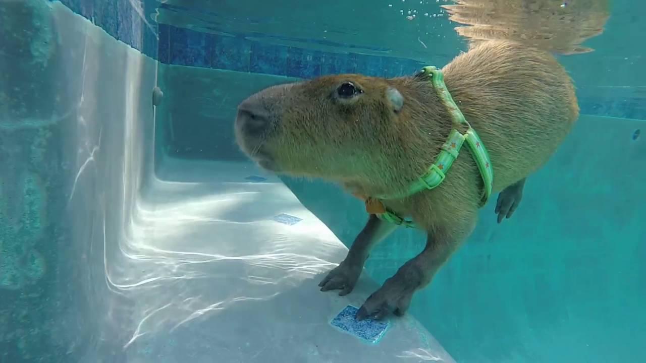 Capybara Swimming Pool JoeJoe the Swimming Ca...