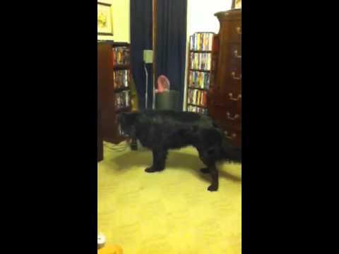 Dog Hates Ear Drops