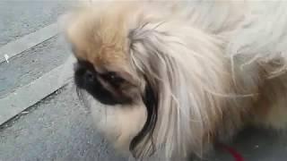 Пекинес, как правильно выбрать щенка, для выставки, для души.