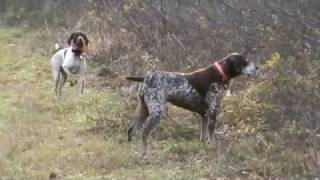 German Shorthaired Pointers Pheasant Hunting Nh 2011