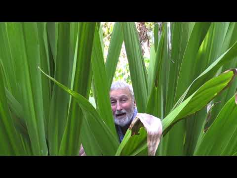 Spear Lily Doryanthes Palmeri. Land of the Giants Plant