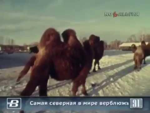 1991 год. Верблюжья ферма в Челябинской области.