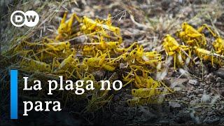 Langostas: una amenaza para la seguridad alimentaria