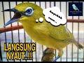 Langsung Nyauttt Pleci Gacor Di Jamin Ampuh Pleci Pecinta Burung  Mp3 - Mp4 Download