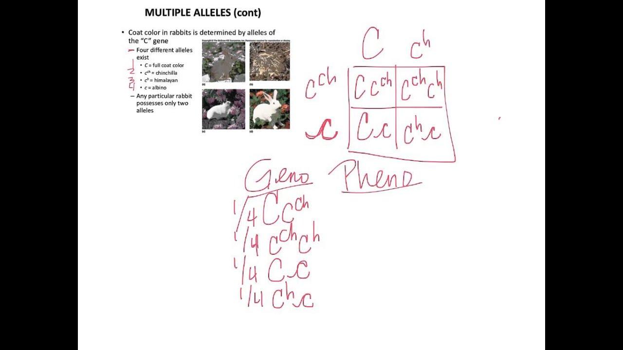 multiple alleles rabbit coat color