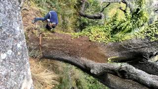 Abbattimento quercia secolare