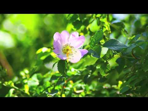 Rosa Corymbifera - Corymbose Rose