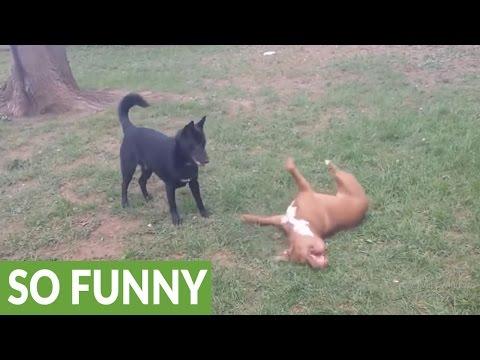 Epic playtime between Pit Bull and German Shepherd