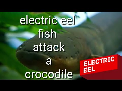 A electric eel fish attack a crocodile.. - YouTube