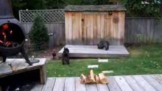 Brodee & Kyra Cairn Terriers Age 8