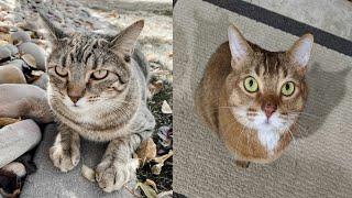 AMERICAN BOBTAIL CATS 2021