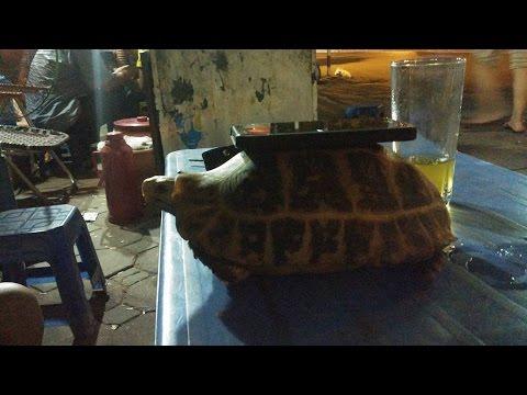 Elongated tortoise (Rùa Núi Vàng) ♥♥♥