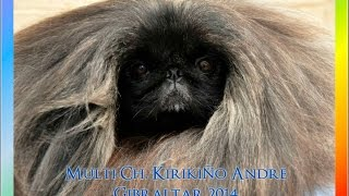 Sp Ch Kirikiño Andre - Pekingese Bob Gibraltar Dog Show