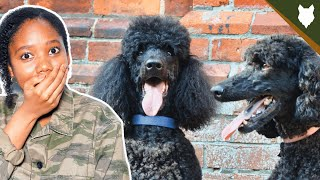 5 Reasons You SHOULD NOT GET A POODLE!