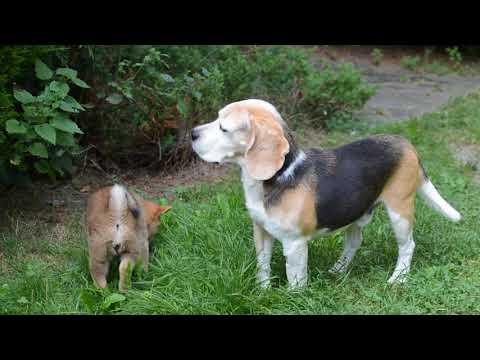 Beagle & shiba czyli Łaciata Sfora