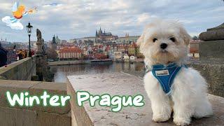 Beautiful Winter Prague with Xanti  Maltese puppy