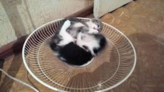 Коты бойцовской породы