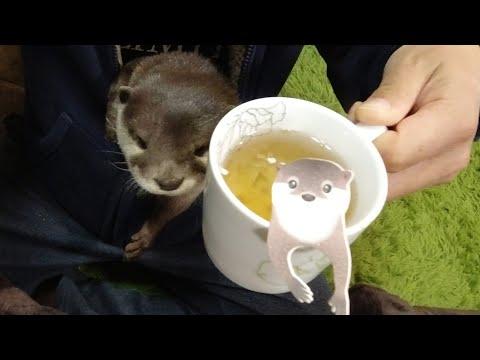 Наслаждайтесь время чая с выдрой и кошками [Выдра жизнь День 213]