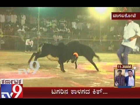 Sheep Fight Organised in Majakandi, Bagalkot