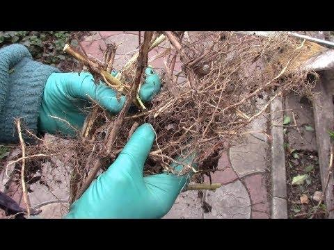 Размножение жимолости каприфоль укоренёнными черенками.